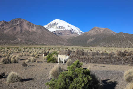 andean: The Andean landscape with herd of llamas, with the Sajama volcano on background.