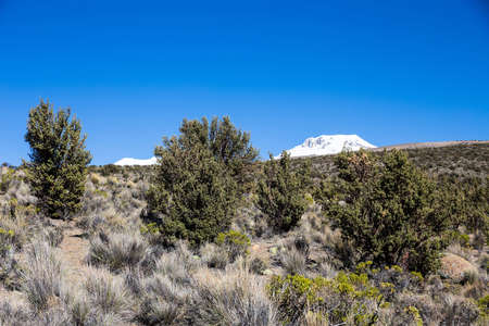 montane: Quenoa forest, Polylepis tarapacana, the only vegetation that grows at 4000 meters altitude. It is considered one of the highest forests of the world. Natural Park of Sajama, Bolivia. Stock Photo