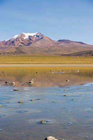 sajama: Flamingos on lake Huayacota with the snowcapped volcano Anallajchi the background. Sajama National Park, on the border between Bolivia and Chile over 4500 meters. Andean Mountains