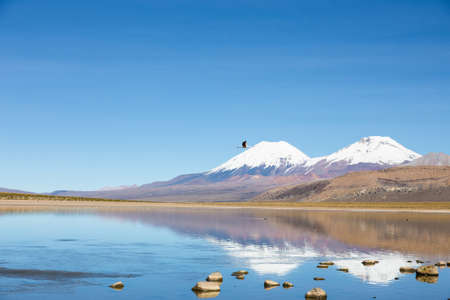 sajama: A flamingo fly with the snowcapped volcanoes Parinacota and Pomerane the background. Sajama National Park, on the border between Bolivia and Chile over 4500 meters. Range of the Andes.