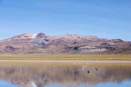 sajama: A flamingo flies over Huayacota lagoon in the Natural Park of Sajama, on the border between Bolivia and Chile over 4500 meters. In the background, the Jacha Condoribi volcano. Range of the Andes. Stock Photo