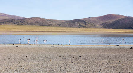 sajama: A group of Flamingos in the lagoon Huayacota in the Natural Park of Sajama, on the border between Bolivia and Chile over 4500 meters. Andean Mountains. Stock Photo