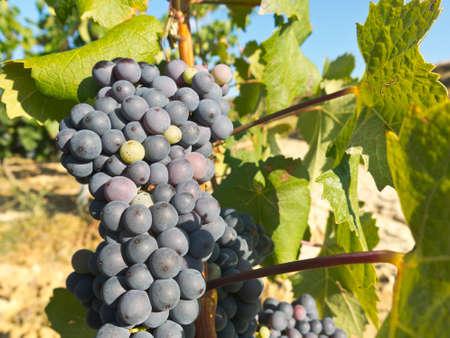 rioja: Vineyard in la Rioja before the harvest, Spain. La Rioja, the largest wine producing region in Spain.