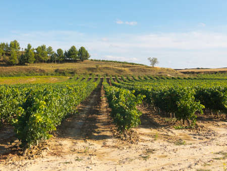 la rioja: Vineyard in La Rioja, the largest wine producing region in Spain Stock Photo