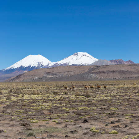 sajama: Group of vicu�a (Vicugna vicugna) or vicugna in Sajama National Park, Bolivia. Range of the Andes. Vicu�as live at altitudes of 3,200 to 4,800 m