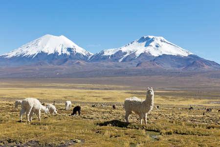雪に覆われた火山、背景と高地で放牧ラマのグループと、アンデス山脈の風景です。 写真素材