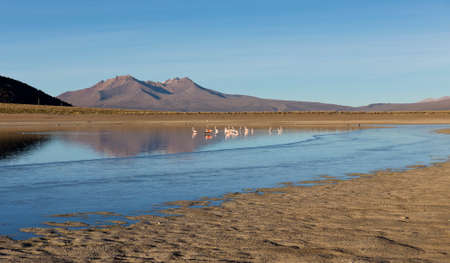 sajama: A group of Flamingos in the lagoon Huaynacota in the Natural Park of Sajama, on the border between Bolivia and Chile over 4500 meters. Andean Mountains are. Stock Photo