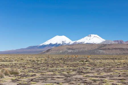 sajama: Group of vicuna Vicugna vicugna or vicugna in Sajama National Park, Bolivia. Range of the Andes. Vicunas live at altitudes of 3,200 to 4,800 m Stock Photo