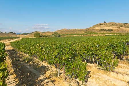 rioja: La Rioja vineyard fields by The Way of Saint James in Logrono