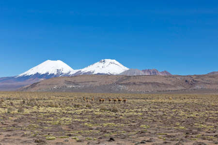 Group of vicuña (Vicugna vicugna) or vicugna in Sajama National Park, Bolivia. Range of the Andes. Vicuñas live at altitudes of 3,200 to 4,800 m