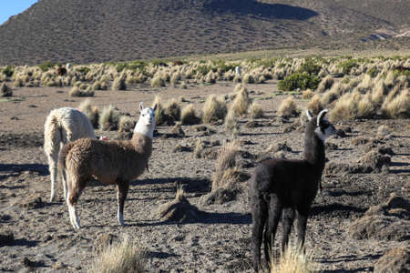 sajama: The Andean landscape with herd of llamas on Natural Park of Sajama. Bolivia.