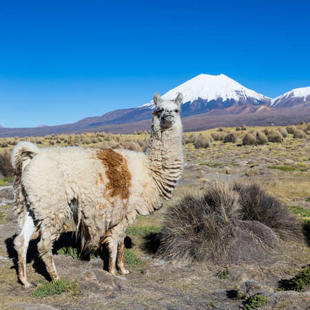 The Andean landscape with herd of llamas, with the Parinacota volcano on background.