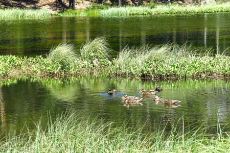 View of a family of ducks in the Oles pond. Aran valley in the Catalan Pyrenees, Spain