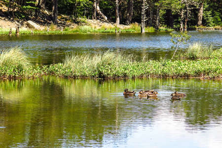 aran: View of a family of ducks in the Oles pond. Aran valley in the Catalan Pyrenees, Spain