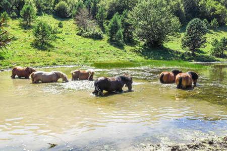aran: Wild horses in Aran valley in the Catalan Pyrenees, Spain