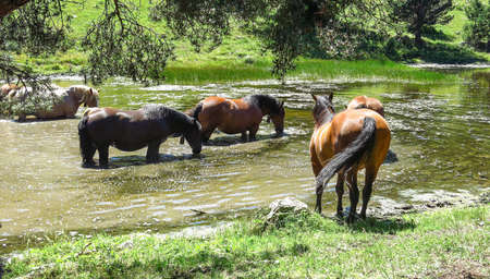 Wild horses in Aran valley in the Catalan Pyrenees, Spain