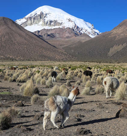 The Andean landscape with herd of llamas, with the Sajama volcano on background. Sajama National Park is a national park located in the Oruro Department, Bolivia. It borders Lauca National Park in Chile.