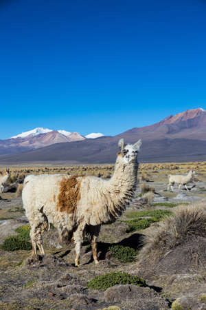 The Andean landscape with herd of llamas, with the Parinacota volcano on background. Sajama National Park is a national park located in the Oruro Department, Bolivia. It borders Lauca National Park in Chile.