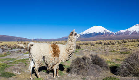 The Andean landscape with herd of llamas, with the Parinacota volcano on background. Sajama National Park is a national park located in the Oruro Department, Bolivia. It borders Lauca National Park in Chile.  Stock Photo