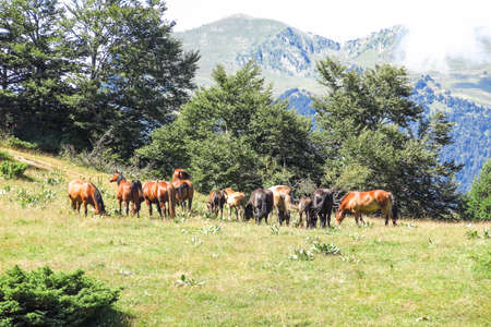 aran: Wild horses in Aran valley in the Catalan Pyrenees, Spain. The main crest of Pyrenees forms a divide between France and Spain, with the microstate of Andorra sandwiched in between