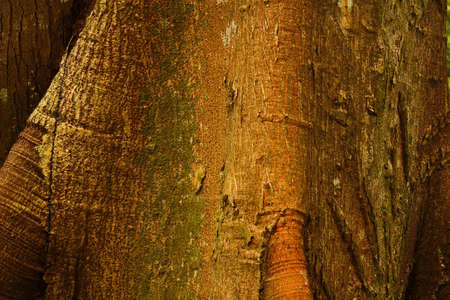 Detail. Trunk of a majestic ceiba, tropical tree, Tayrona National Park, Sierra de Santa Marta. Colombia. Tayrona National Park is located in the Caribbean Region in Colombia. 34 km from the city of Santa Marta is one of the most important natural parks o Imagens