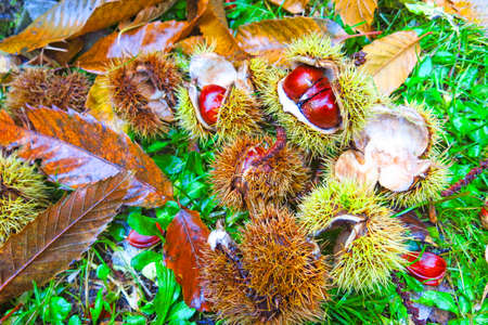 Fresh chestnuts with open husk on fallen autumn leaves. Autumn Impression
