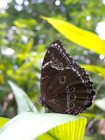 Owl butterfly, Caligo sp., in Amazon rainforest. Madidi Park, La Paz Region. Bolivia.  Stock Photo