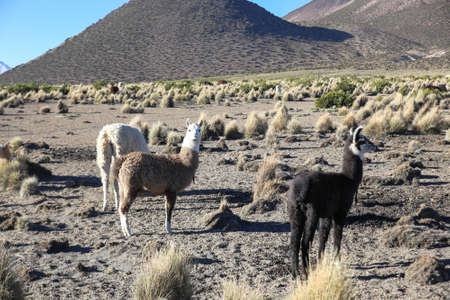 The Andean landscape with herd of llamas on Natural Park of Sajama. Bolivia.