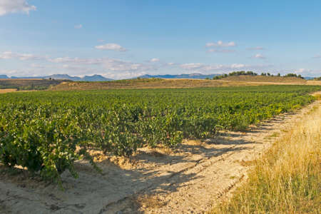 Panoramic landscape of a vineyard field in Logro�o, in the Spanish region of La Rioja, famous for its wine production. Spain