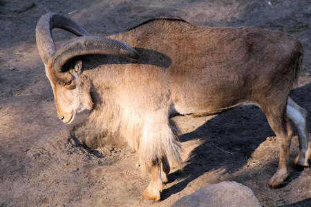 billygoat: Capricorn at the zoo