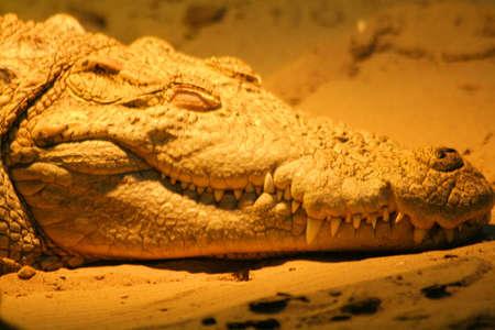 Resting crocodile at the zoo Stock fotó