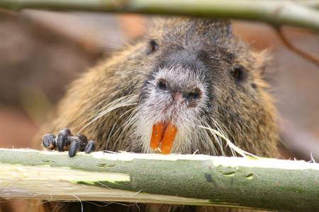 Eating Beaver Zdjęcie Seryjne