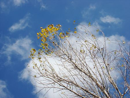 Top of tree with yellow leaves in an autumn sunny day. Stock Photo