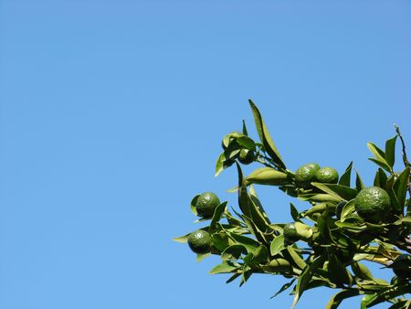 Green tangerine hanging on a tree with blue sky background. Stock Photo