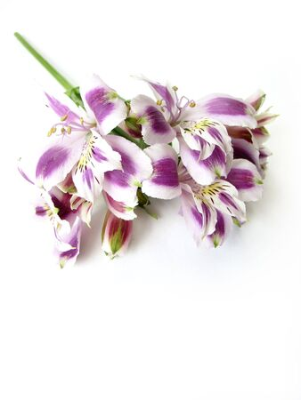 White and Purple Alstroemerias on white background - space for text                    photo