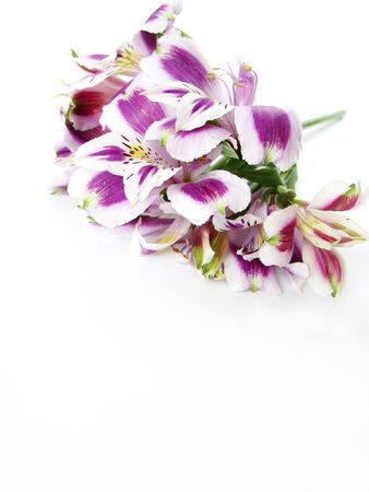 White and Purple Alstroemeria flowers card background - space for text