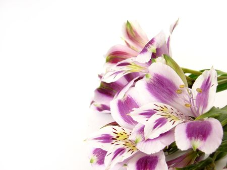 White and Purple Alstroemerias on white background - space for text