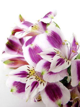 alstroemeria: Close-up of white and purple Alstroemeria flowers on white background