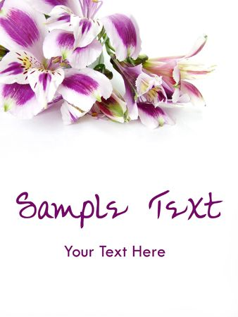 alstroemeria: White and Purple Alstroemeria flowers card background - space for text