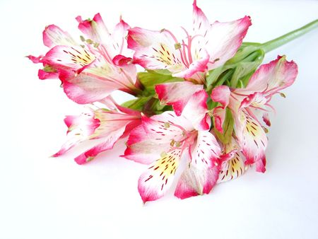 Bouquet of White and Pink Alstroemeria flowers on white background