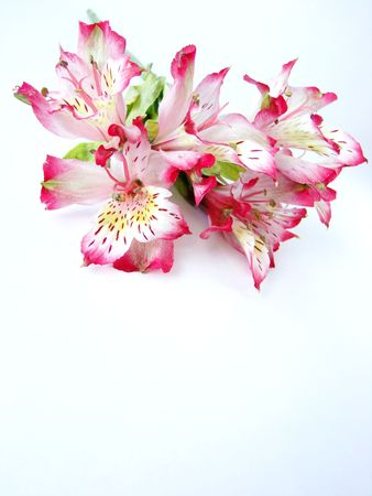 Bouquet of White and Pink Alstroemeria flowers on white background - space for text