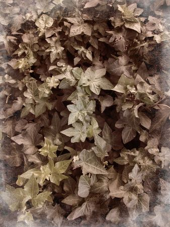 Vintage ivy background - sepia colors
