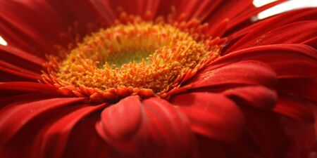 Red daisy closeup - macro