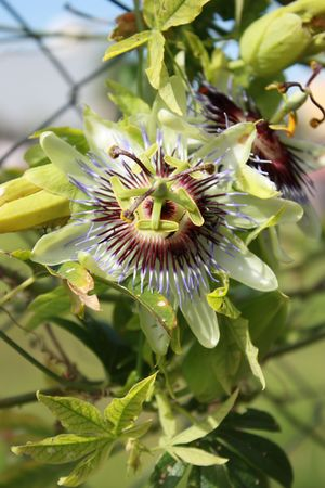 Passionflower in the plant Stock Photo