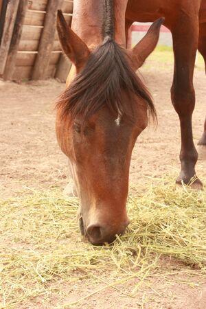 Chestnut Horse eating photo