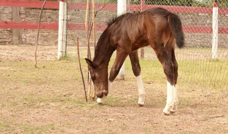 field stripped: Young brown foal in a farm Stock Photo