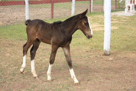 field stripped: Young brown foal walking
