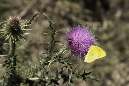 Butterfly and ladybug on thistle - desaturated background Stock Photo