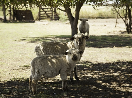 Sheeps in farm Stock Photo