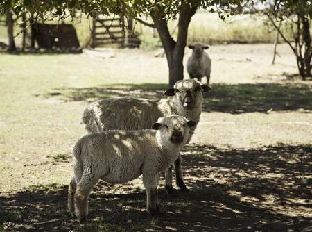 Sheeps in farm Stock Photo